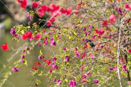 青衣公園 花とカワセミ