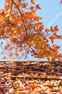 元朗大棠 紅葉の景色 その⑩