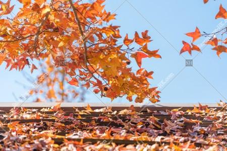 元朗大棠 紅葉の景色 その⑪