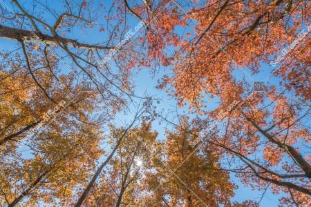 元朗大棠 紅葉の景色 その⑬