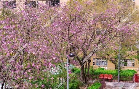 住宅街に咲く洋紫荊(英:Bauhinia x blakeana)