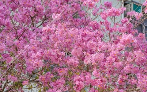 葵芳 紅花風鈴木の花 その⑧