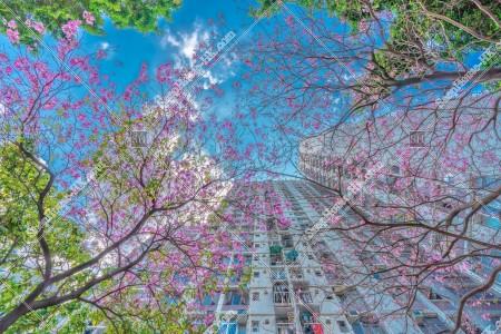 葵芳 紅花風鈴木の花 その⑨