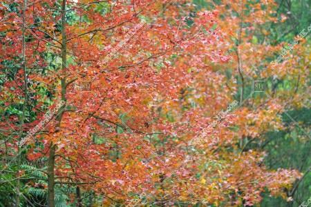 元朗大棠 紅葉の景色 その⑯
