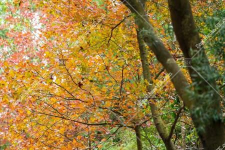 元朗大棠 紅葉の景色 その⑰