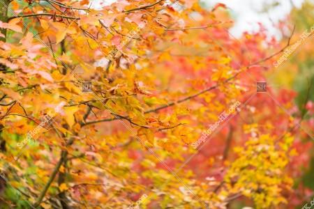 元朗大棠 紅葉の景色 その⑱