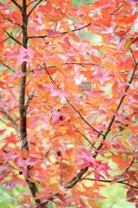 元朗大棠 紅葉の景色 その⑲