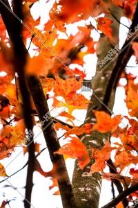 元朗大棠 紅葉の景色 その⑳