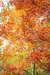 元朗大棠 紅葉の景色 その㉑