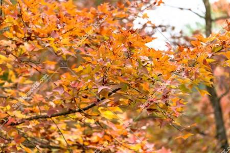 元朗大棠 紅葉の景色 その㉒